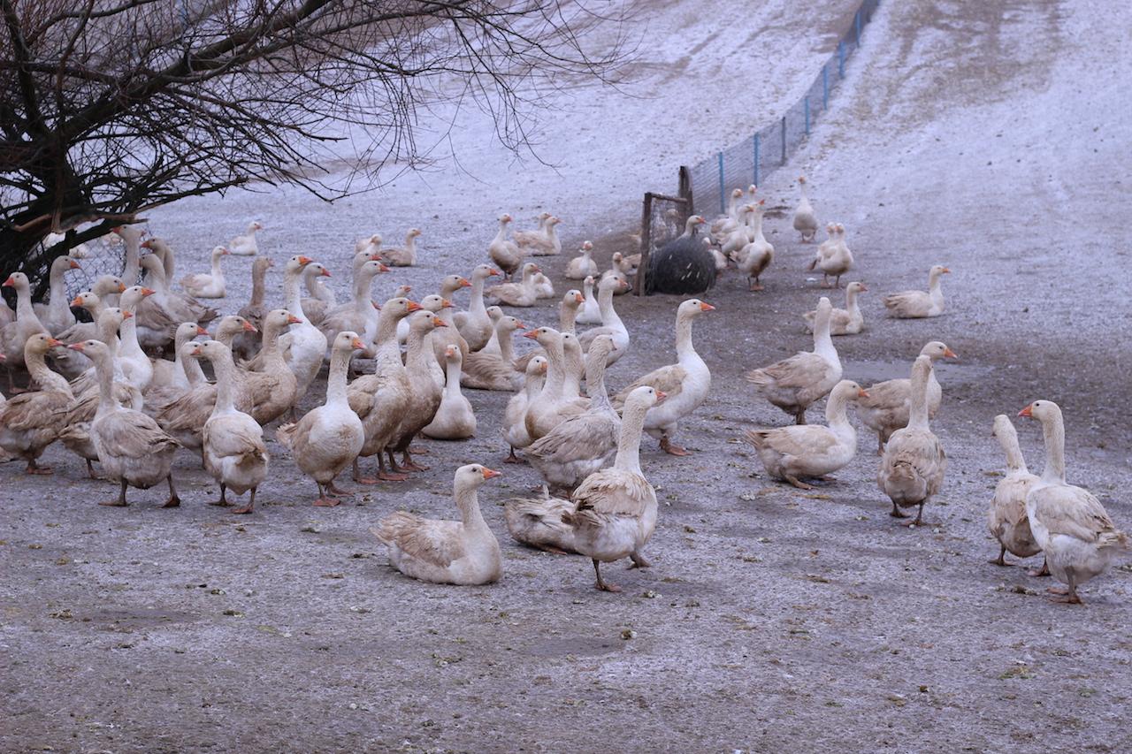 ポーランドマザーグース農場