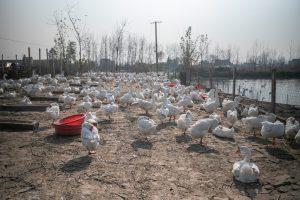 中国グース農場